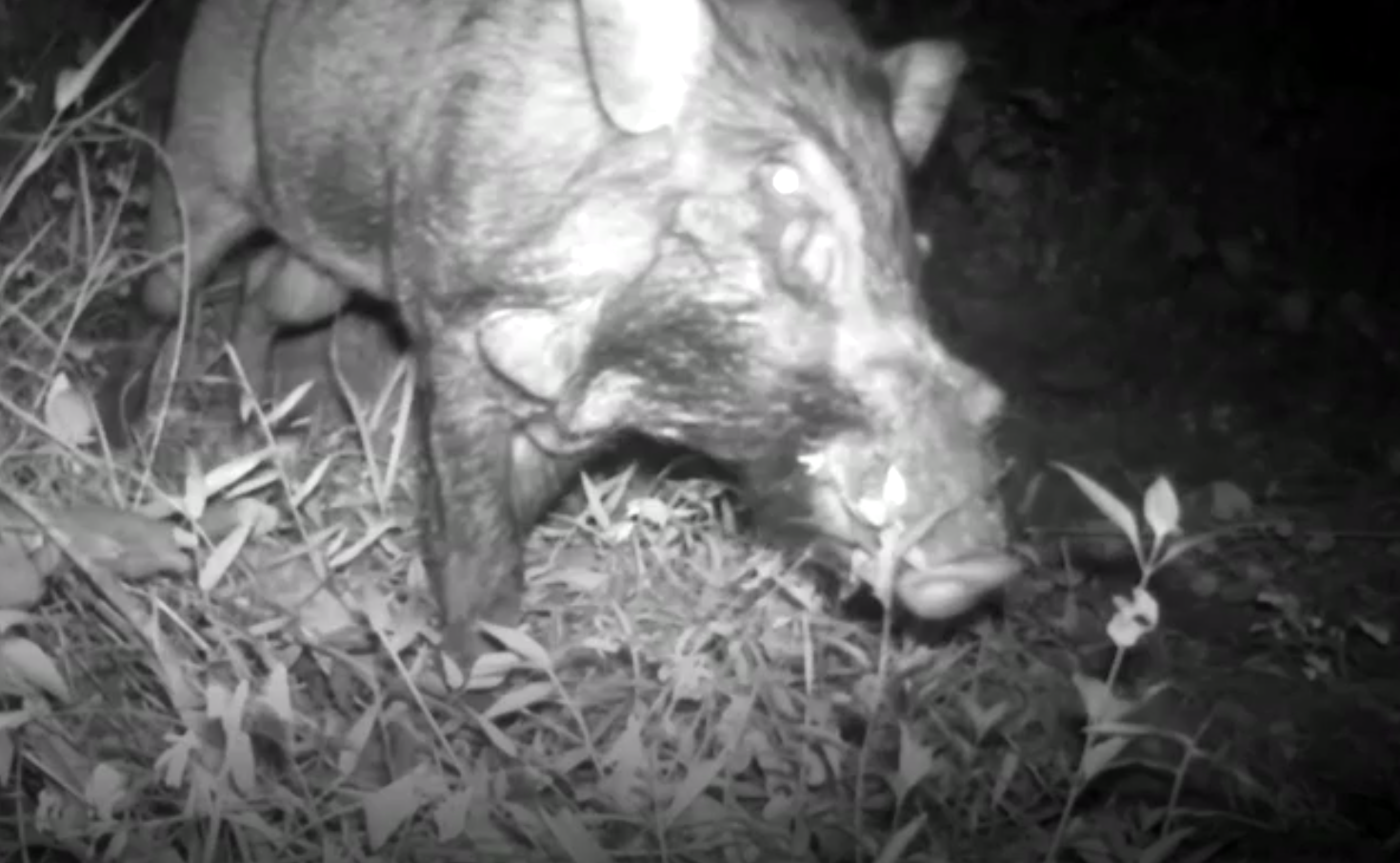 One of the World's Rarest and Ugliest Pigs Caught on Camera   Plants And  Animals