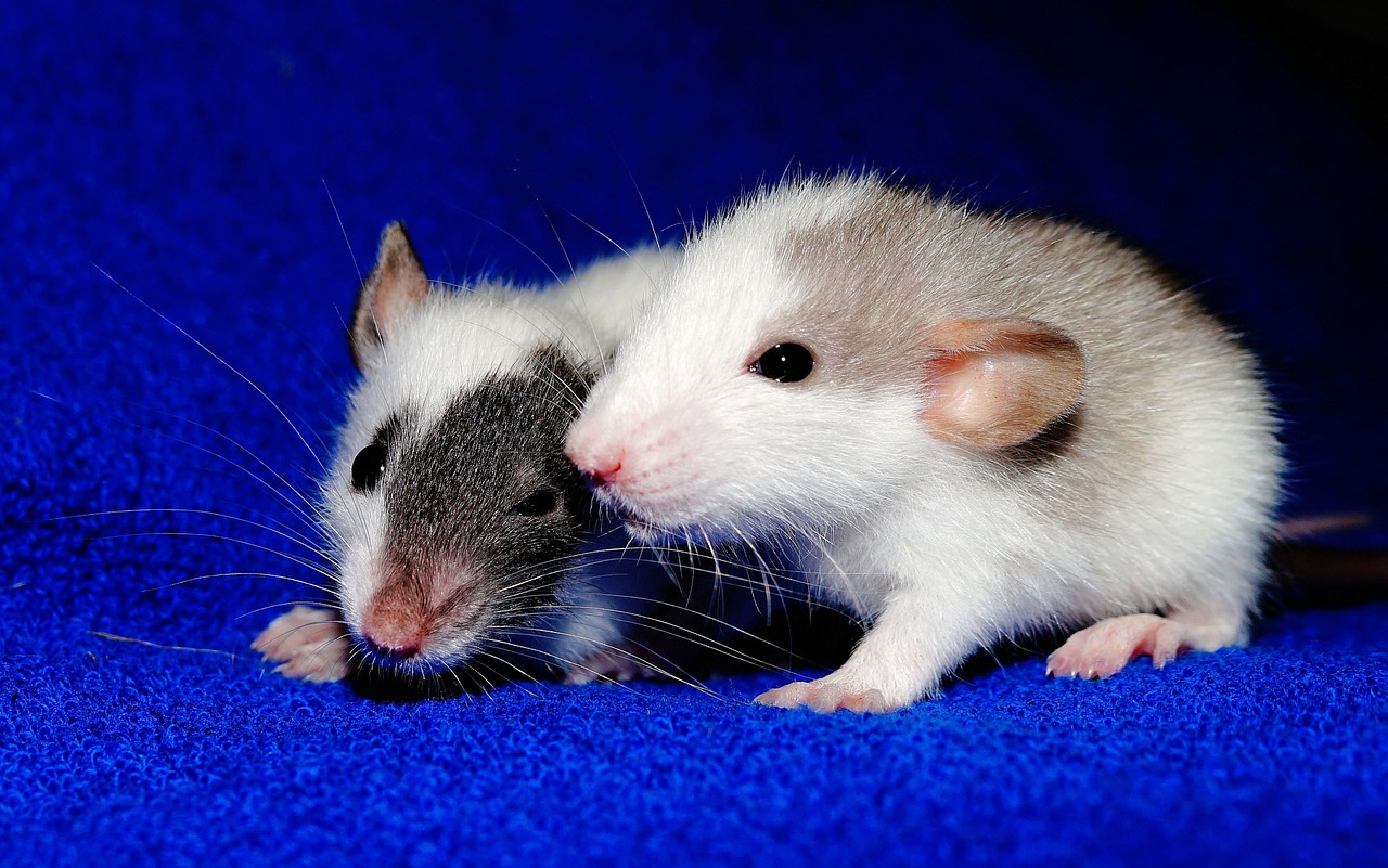 Rats Reciprocate Favors Just Like Humans Do | Plants And Animals