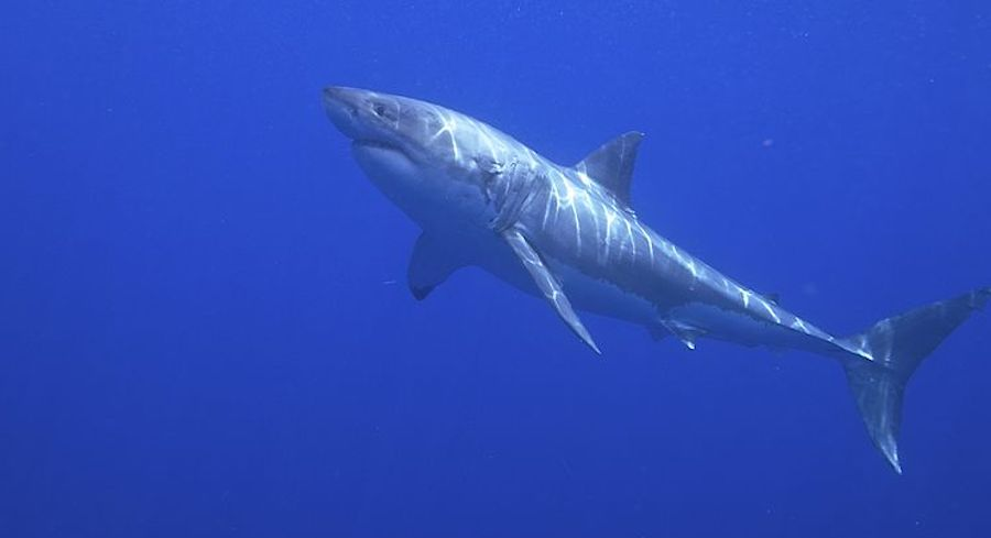 The Genome of the Great White Shark has Been Decoded | Genetics And Genomics