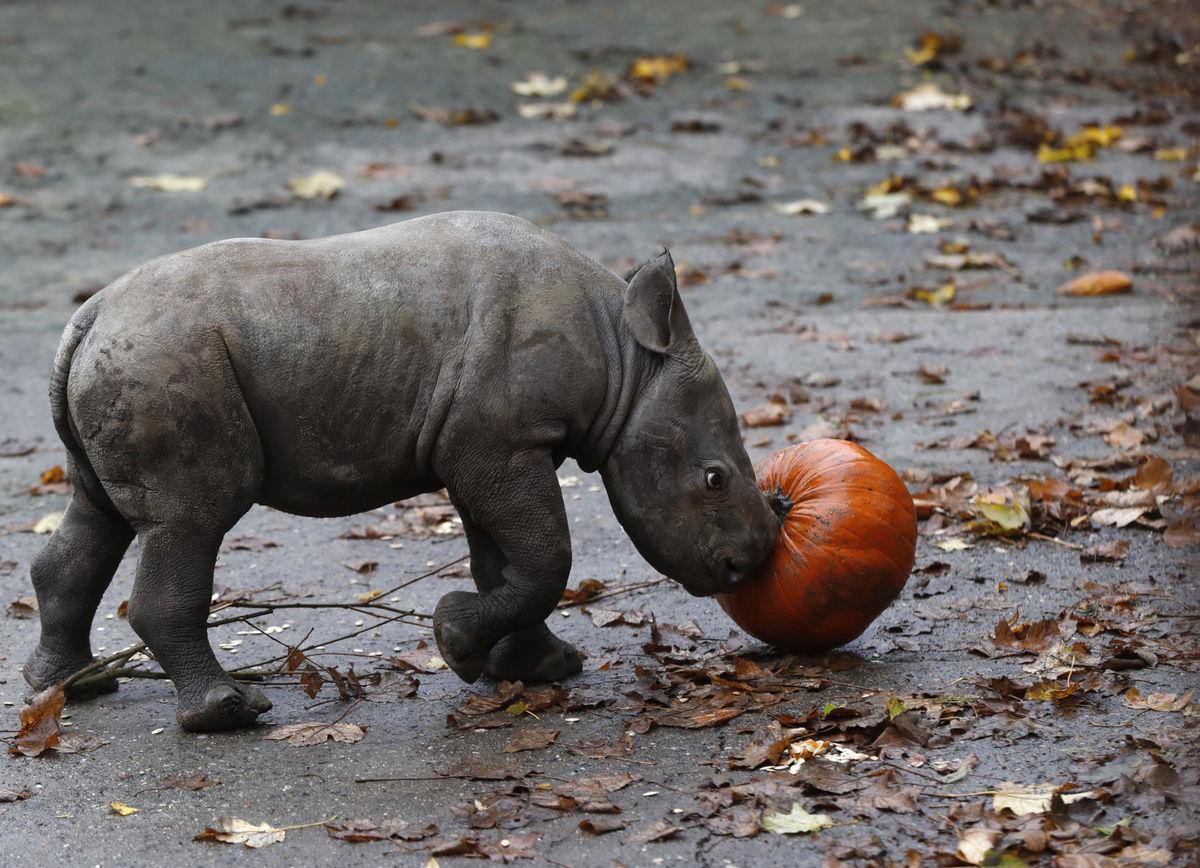 Eastern Black Rhino Born At Dvur Kralove Zoo Plants And