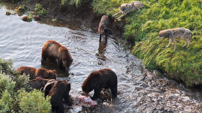 Of Bears and Salmon, the Vital Connection  |Brown Bear Food