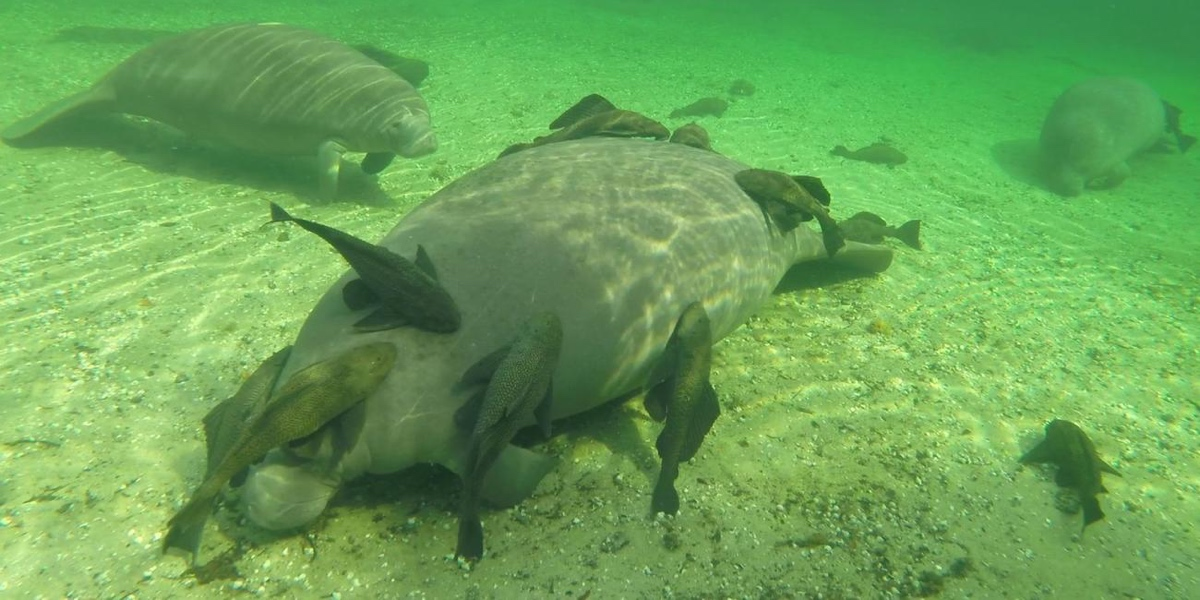 Manatees In Florida Are Being Harassed By Catfish And