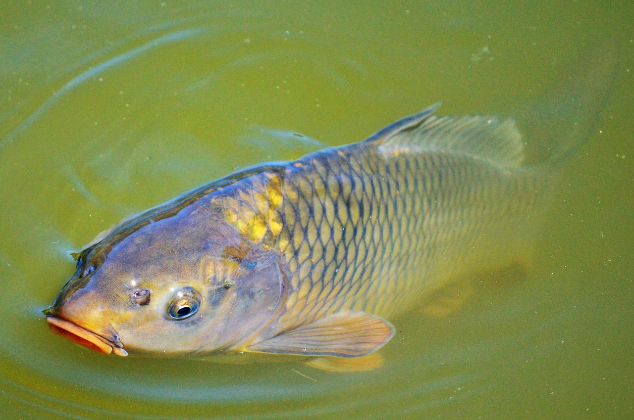 Invasive alien carp are threatening our waterbirds for Carp fish pictures