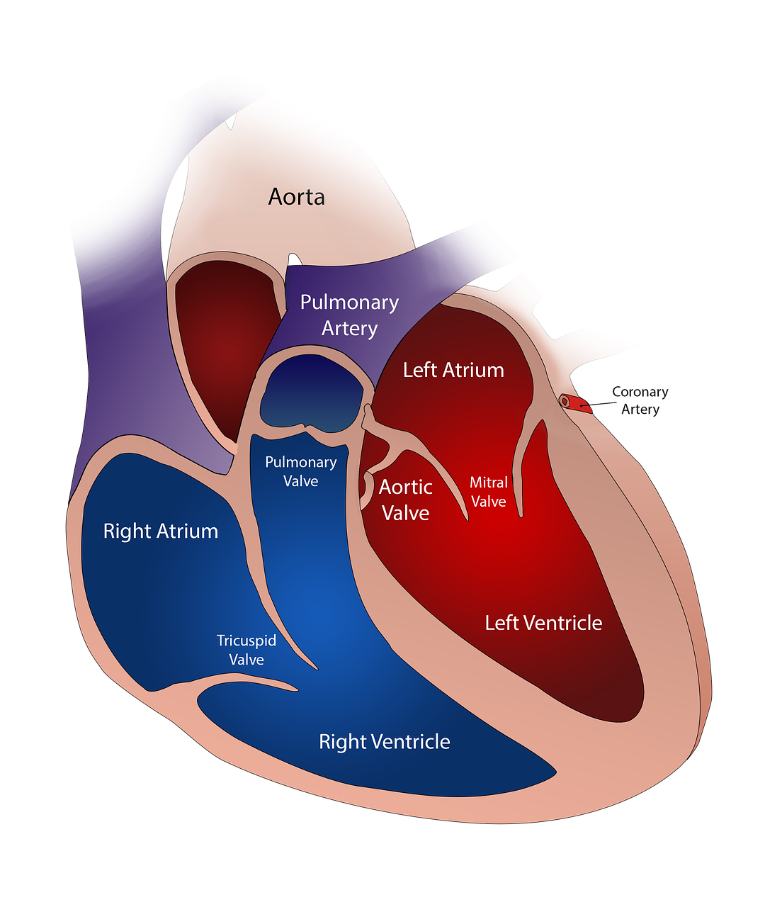 Engineering a better heart valve the human heart has four valves aortic pulmonary mitral and tricuspid when blood is pumped through the heart it passes in one direction like a one way ccuart Image collections
