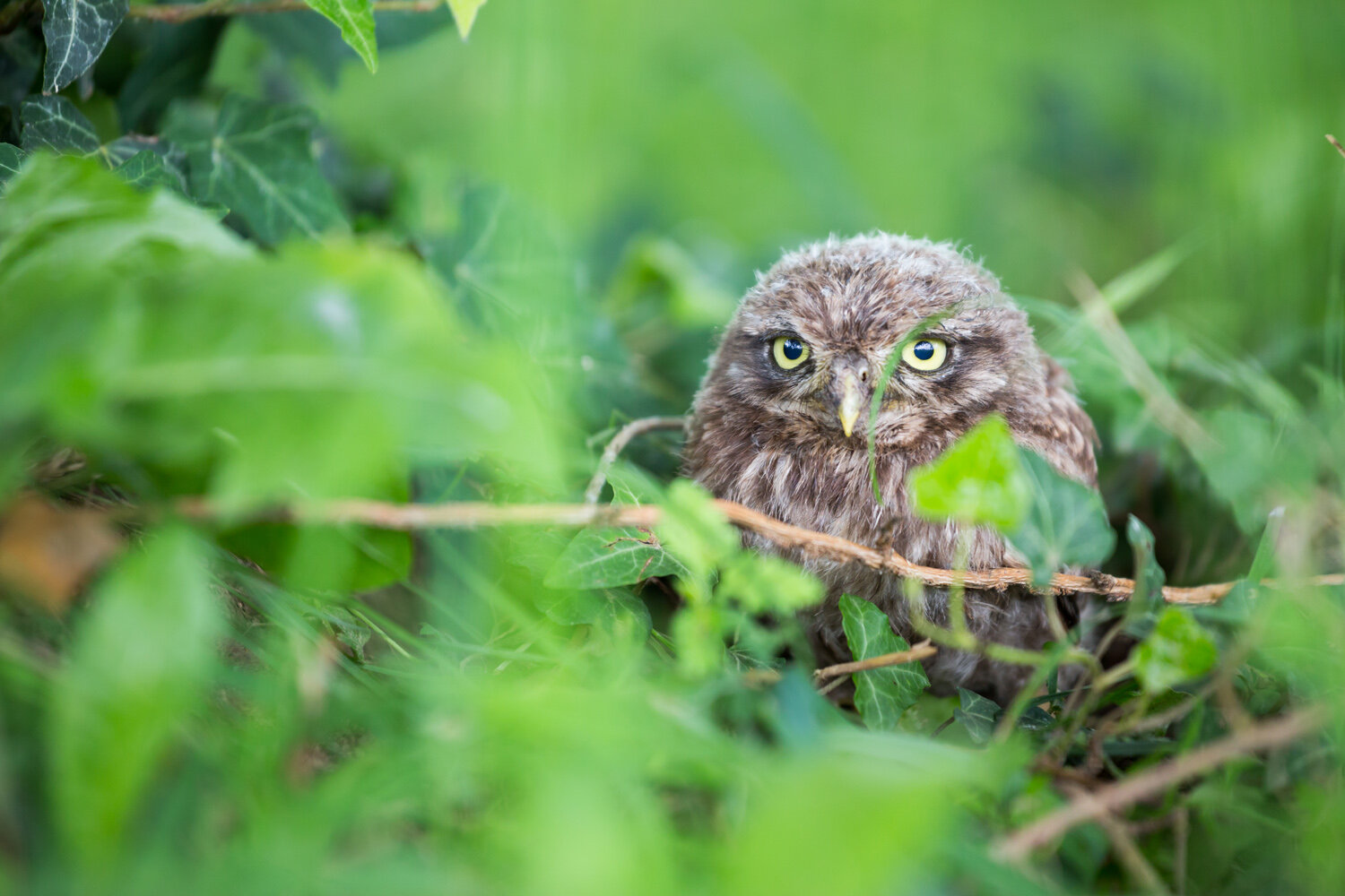 96ebfa15 Could Germany's Little Owl Scatter to Northern Switzerland in the ...