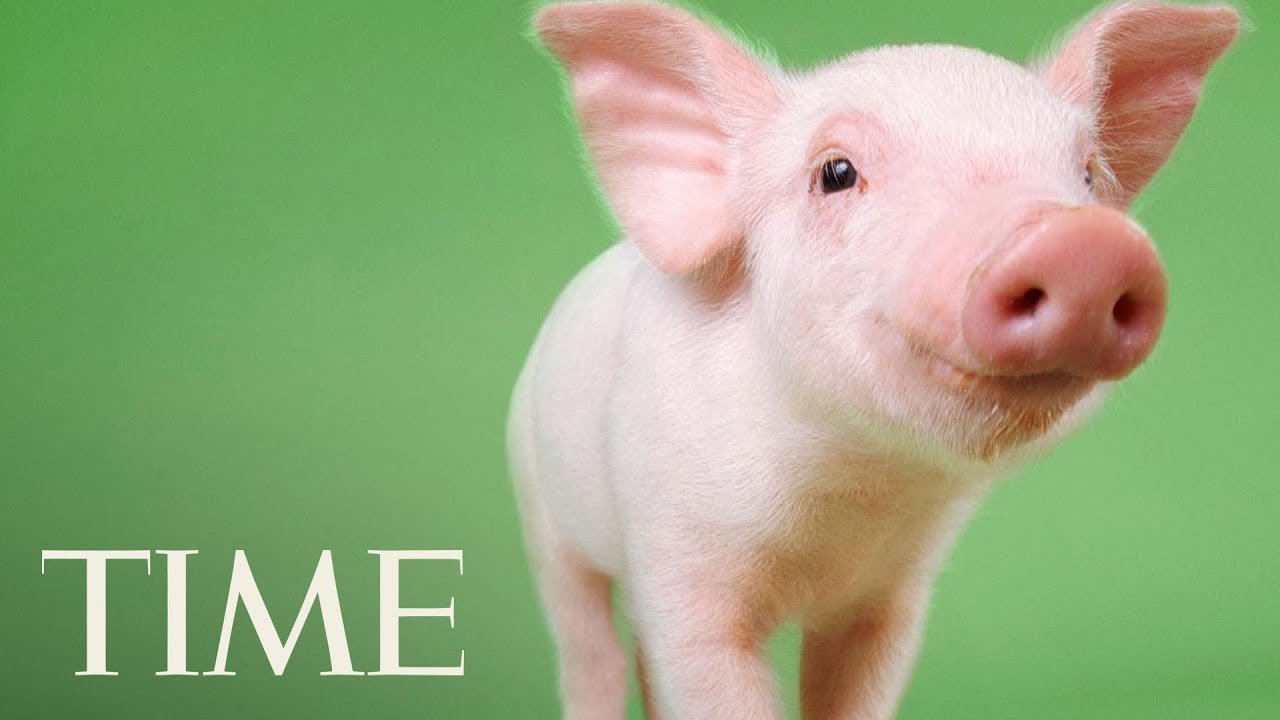 a needy pig Best bet adopt a pig from a reputable breeder ask your veterinarian to recommend one in your area locate a breeder and visit their facility.